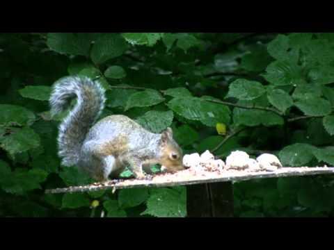 Grey squirrel, (Sciurus carolinensis)