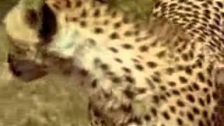 Guepardos o Chitas en su Habitad NatuRaL parte 1