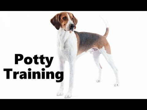How To Potty Train An English Foxhound Puppy - English Foxhound Training - English Foxhound Puppies