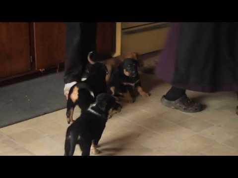 rottweiler-mix-puppies-for-sale
