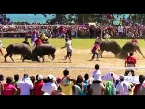 "Bull Fighting in the Philippines ""Pasungay Festival"" Part 2 - A Must See"