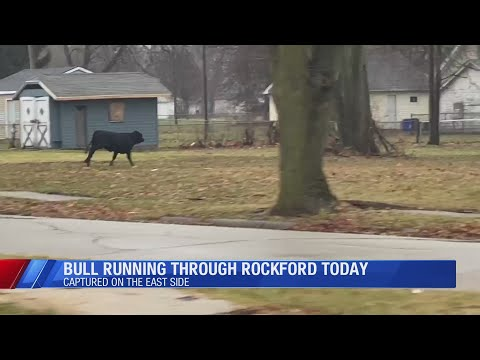 Steve Knoll - Bull Runs Loose and Takes a Swim in Northern Illinois City