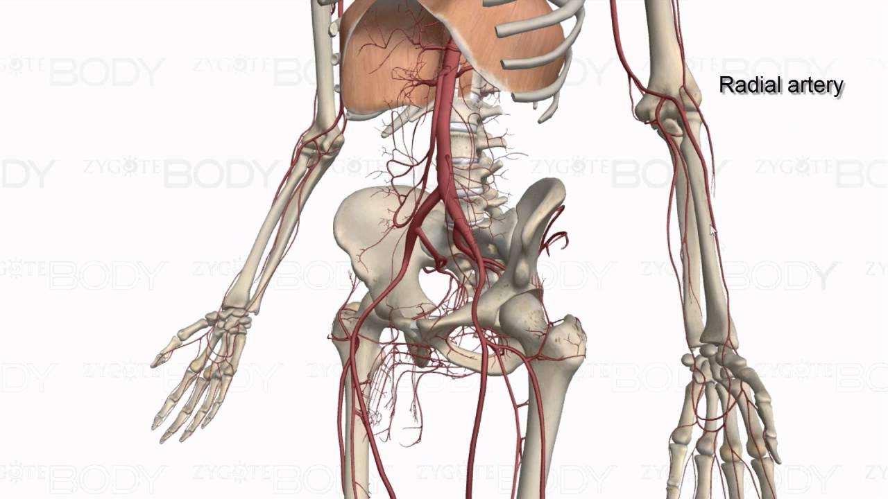 major arteries of the body [ 1280 x 720 Pixel ]