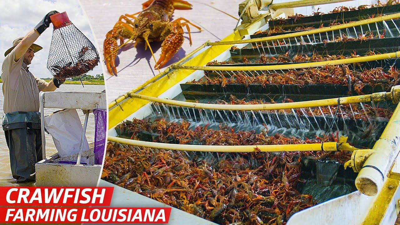How Louisiana's Biggest Crawfish Farm Sells Three Million Pounds of Crawfish Every Year — Dan Does