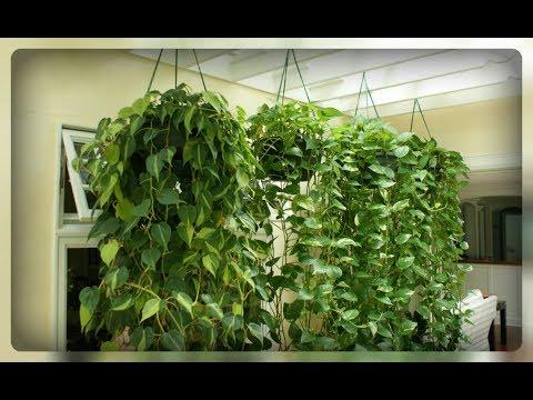 Секреты ухода за ампельными комнатными растениями