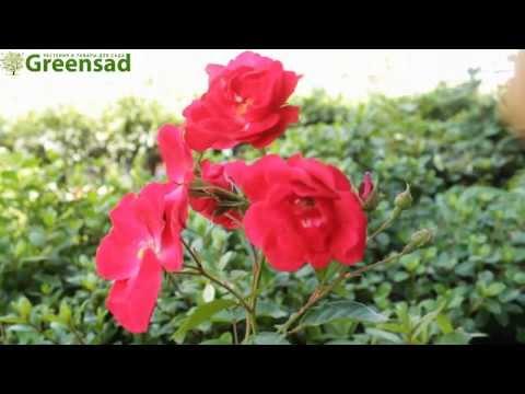 Роза флорибунда Лейпциг - видео-обзор от Greensad
