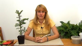 видео Как формировать и стричь бонсай