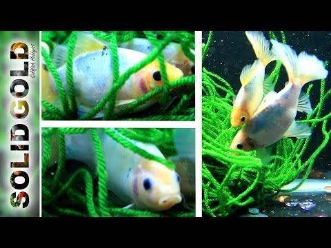Spawning Goldfish