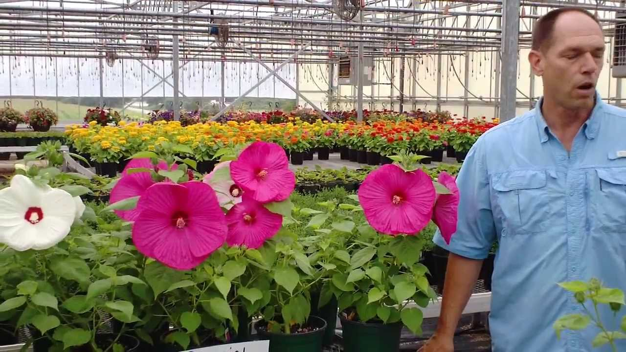 Kolzes Bob Breaks Down Perennial Hibiscus To Get A Beautiful