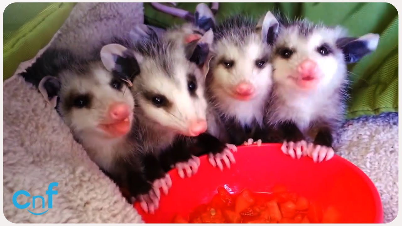 Baby Possums Eat Watermelon