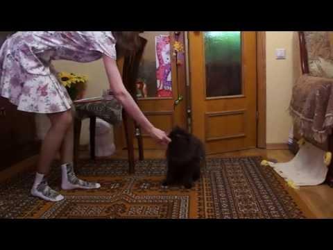 Новые трюки - мой кот ученый - Selkirk Rex Cat Tricks