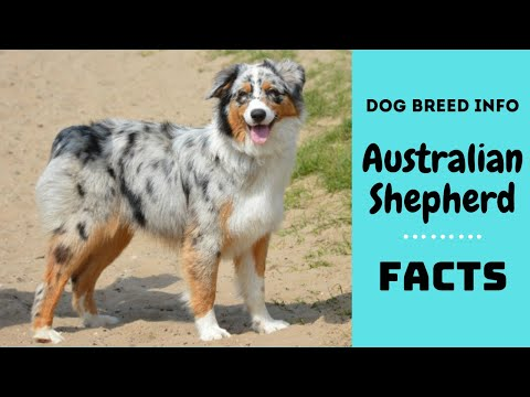 Australian Shepherd dog breed. All breed characteristics and facts about Australian Shepherd