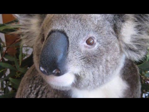 Watch Thrilled Koala Return to Wild After Being Hurt In Vicious Dog Attack