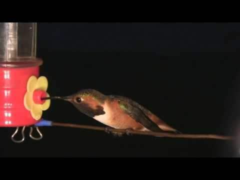 Allen's Hummingbird Sounds - realtime clips with raw audio 2 V11460