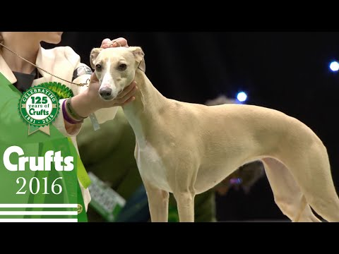 Hound Group Highlights - Whippet | Crufts 2016