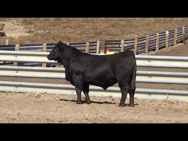 Connealy Angus Lot 46