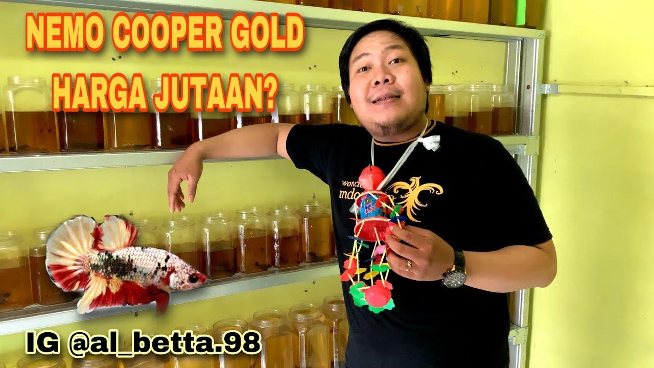 Seller Ikan Cupang Al Betta 98 Harga Nemo Cooper Gold Tembus Jutaan Rupiah Youtube