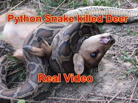 Python Killed deer in Bardia National Park Nepal.