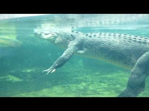 Sydney Wildlife Park Crocodile Swimming - Underwater View - Close Up - 30th July 2013