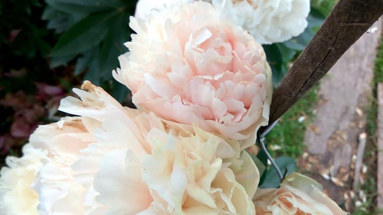 Домашние растения 1. Какой цветок купить домой? Цветущая лиана .