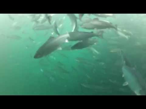 Ocean-raised salmon: a view below the surface
