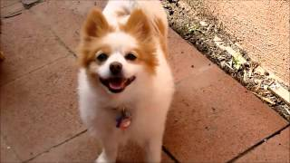 Adoptable-pomeranian-papillon-spayed-4y-20lbs-chantilly-ken-mar-rescue