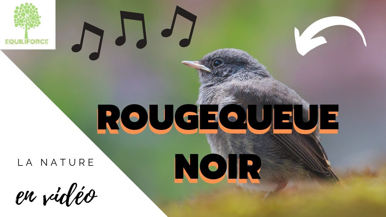 🎶 ROUGEQUEUE NOIR : chant en vidéo + photos | BLACK REDSTART | PHOENICURUS  OCHRUROS - YouTube