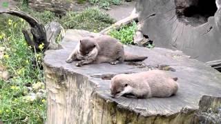 """「ヒトはいってるよね?」動物園のカワウソが""""ジャグリング""""する衝撃映像!"""