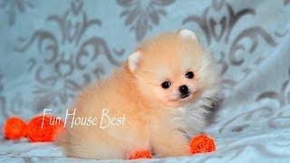 Миниатюрный щенок померанский шпиц - мальчик с ОЧЕНЬ коротенькой мордашкой)