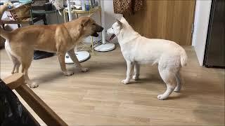 진돗개훈련 - 진돗개가 어리고 약한 개를 만나면 생기는 일