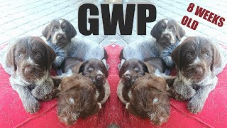 CUTEST THING YOU'LL SEE TODAY 8 Week Old GWP PUPPIES