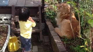 Hi,there! how are you? Do you know my golden retriever? they are so...