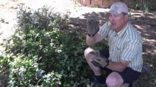 Planting Under a Juniper Tree