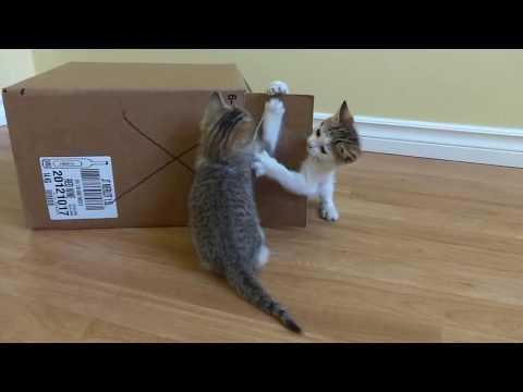 Foster Kittens Play Around Cardboard Box