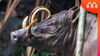 10 ANIMAIS MAIS ESTRANHOS DO MUNDO - MAIORES DO MUNDO