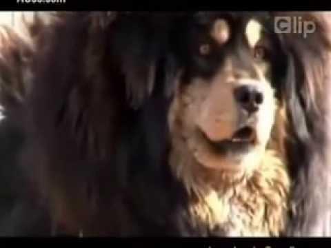 Chó ngao tây tạng đích thực.Dũng mãnh-Nhanh nhẹn-Khổng Lồ