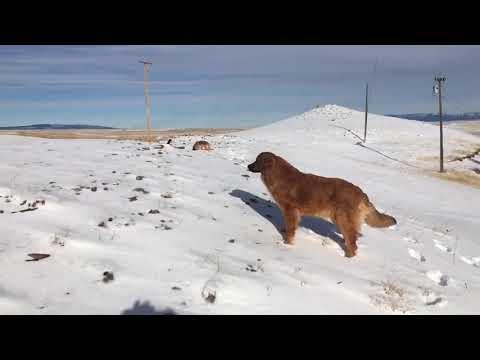 LeoBerner is a Bernese Mountain Dog, Leonberger Hybrid