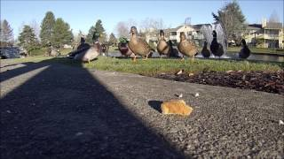 Ducks Fighting Over Bread