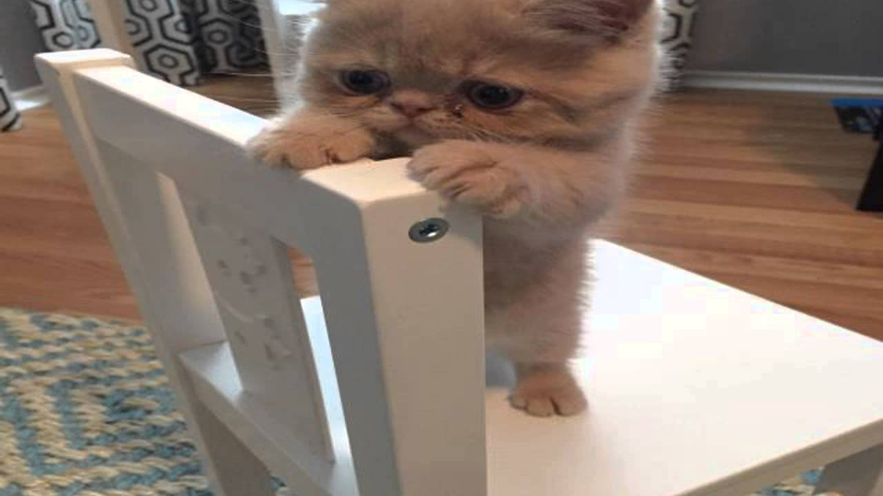 Harga Kucing Anggora Youtube