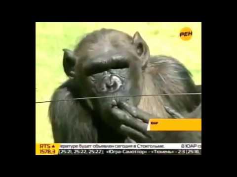 приколы. обезьяны лучшая подборка