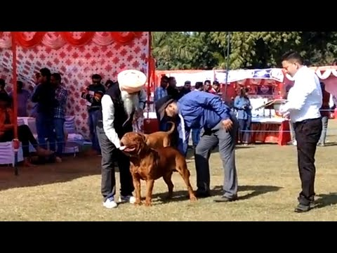 It's FRENCH MASTIFF Day In Delhi {INDIA} DOG Show  2018...