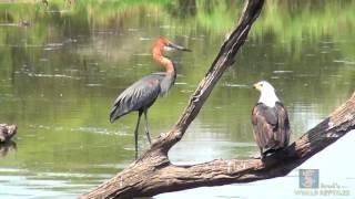 Goliath Heron vs African Fish Eagle