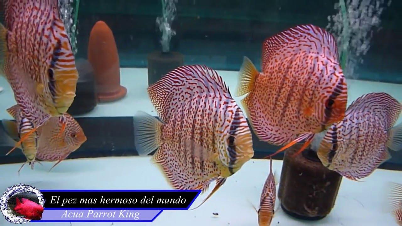 Los 10 peces de agua dulce mas hermosos del mundo youtube for Peces agua dulce