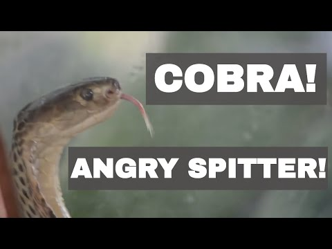 PIZZED OFF and Spitting - Deadly Cobras Cover Glass in Venom!
