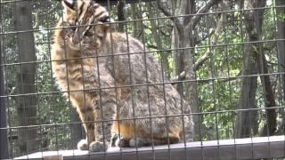 2015年3月28日 ズーラシア ツシマヤマネコ 飼育係のとっておきタイム ツシマヤマネコ 検索動画 23