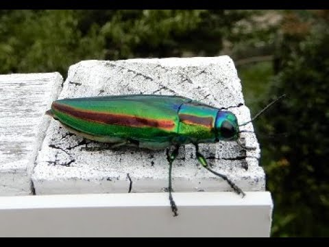 a jewel beetle 玉虫