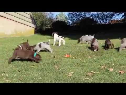 German Short Haired Pointer Puppies For Sale