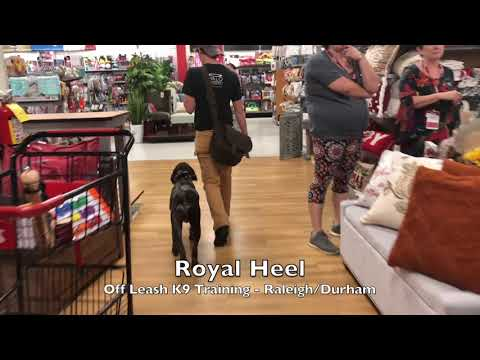 """6mo Wire Haired Pointing Griffon """"Royal"""" Before and After - Dog Training Raleigh Durham"""