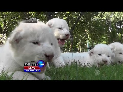 4 Bayi Singa Putih Langka Lahir di Taman Safari Taigan, Crimea - NET24