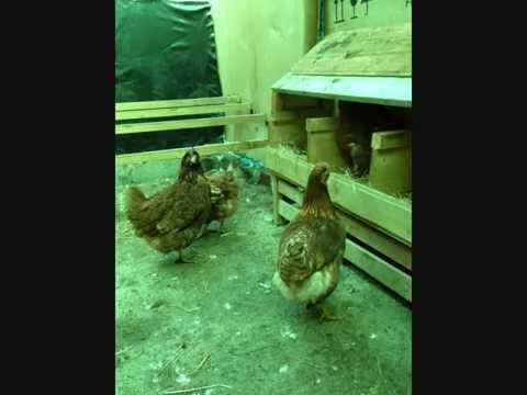 Costruire una casetta per galline doovi for Costruire un pollaio con i pallet